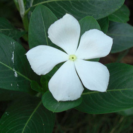 Top 25 most beautiful white flowers annual vinca flowers pinit mightylinksfo