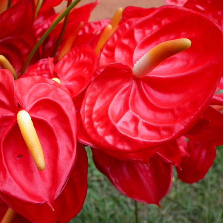 25 most beautiful red flowers anthurium flower pinit mightylinksfo