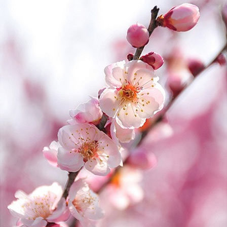 50 most beautiful flowers in the world apple blossom flowers pinit mightylinksfo