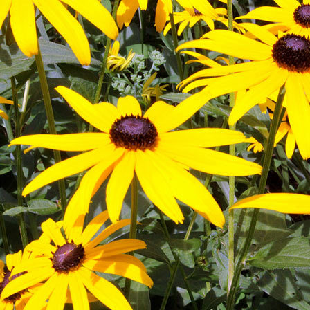 Top 25 most beautiful yellow flowers black eyed susan flower pinit mightylinksfo