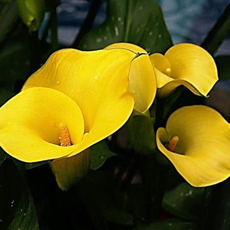 Top 25 most beautiful yellow flowers calla lilies care pinit mightylinksfo