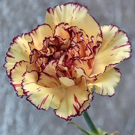 carnations flowers