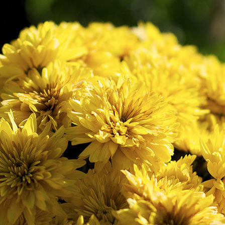 Top 25 most beautiful yellow flowers chrysanthemum flower pinit mightylinksfo