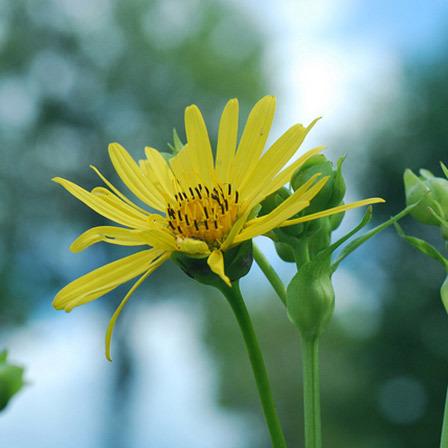 Top 25 most beautiful yellow flowers compass flower pinit mightylinksfo Choice Image