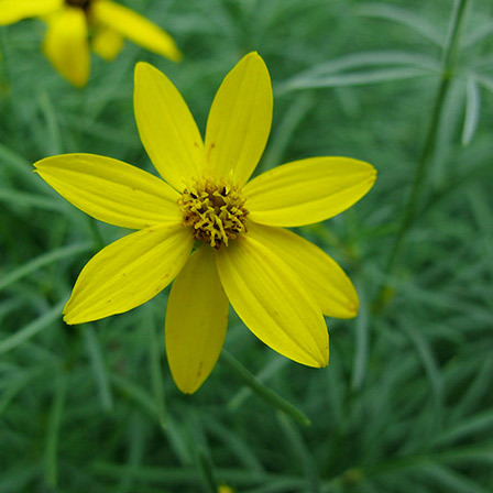 Top 25 most beautiful yellow flowers coreopsis flower pinit mightylinksfo