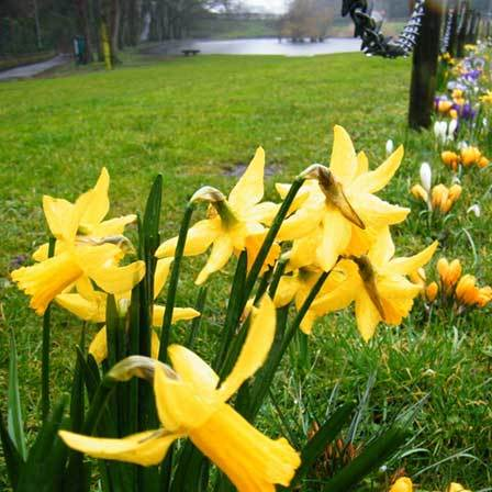 50 most beautiful flowers in the world daffodils flowers pinit mightylinksfo