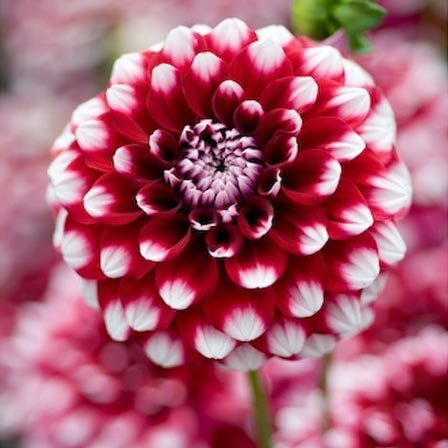 Dahlia flower is a national flower of Mexico and is named after 18th century botanist Anders Dahl. It belongs to an asteraceae genus with over 30 species in ...