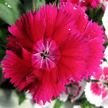dianthus flower care