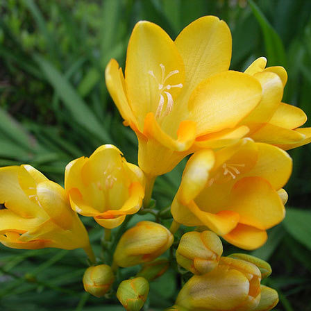 Top 25 most beautiful yellow flowers freesia flower pinit mightylinksfo