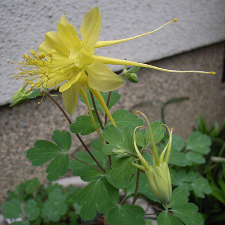 golden columbine flower