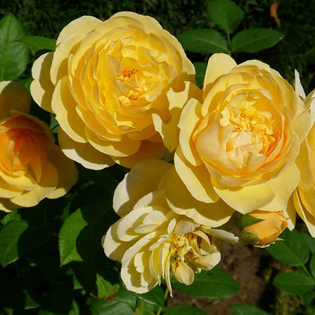 Top 25 most beautiful yellow flowers graham thomas rose pinit mightylinksfo