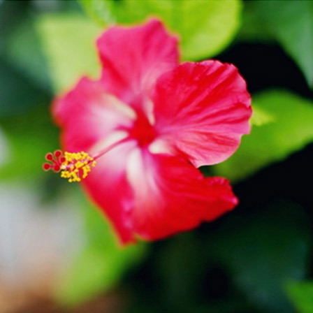 50 most beautiful flowers in the world hibiscus flowers pinit mightylinksfo
