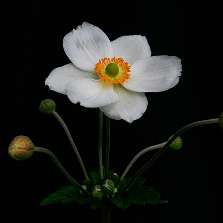japanese anemone flower