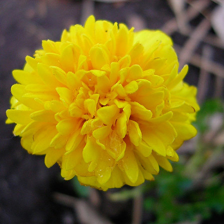 Top 25 most beautiful yellow flowers marigold flowers pinit mightylinksfo