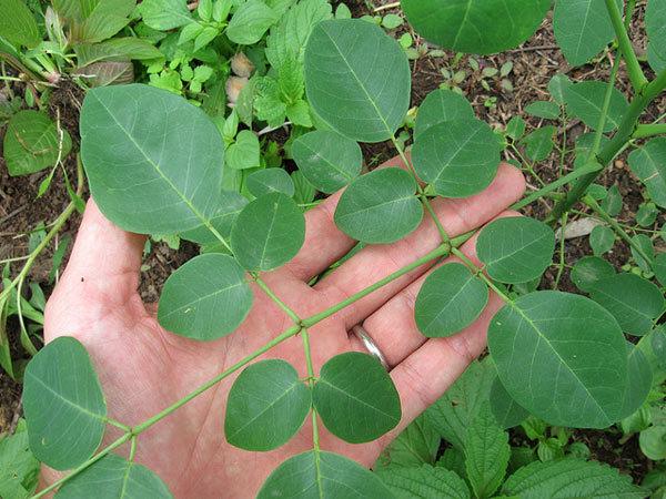 miracle tree moringa