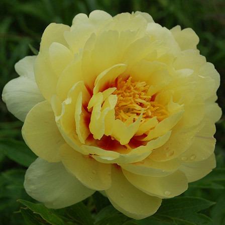 Top 25 most beautiful yellow flowers 8 peonies peonies flowers pinit mightylinksfo