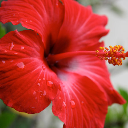red hibiscus star