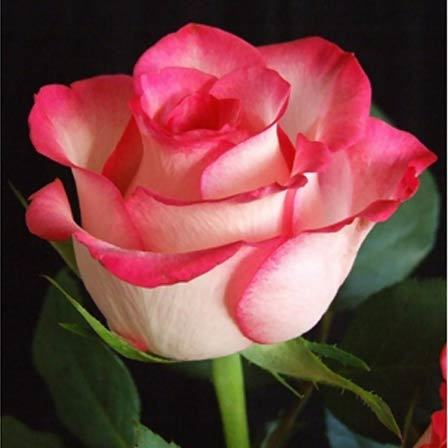 Rose Is One Of The Most Por And Loved Beautiful Flowers All Time Its Meaning Known By Almost At Some Level