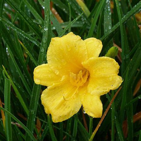 stella d oro daylily