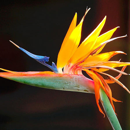 strelitzia flowers