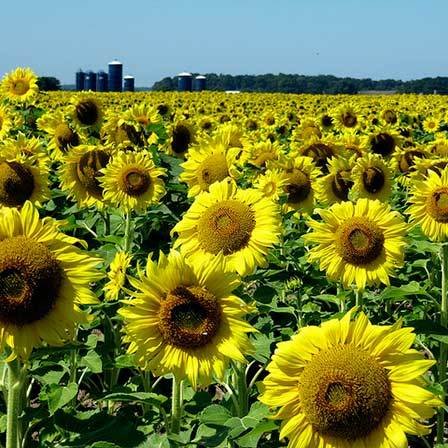 Top 25 most beautiful yellow flowers sunflowers beauty pinit mightylinksfo