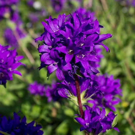50 most beautiful flowers in the world violet flower is the flower of usa and greece and is named after the blue purple flower this flower is a pledge of faithfulness and is a symbol of mightylinksfo