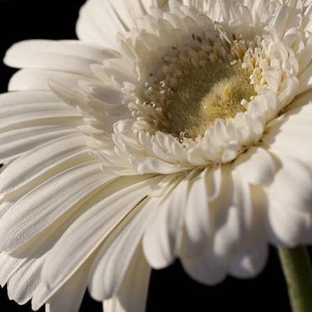 white gerbera daisy flowers