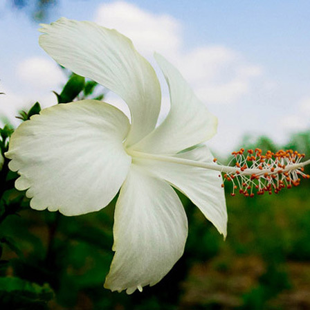white hibiscus flowers