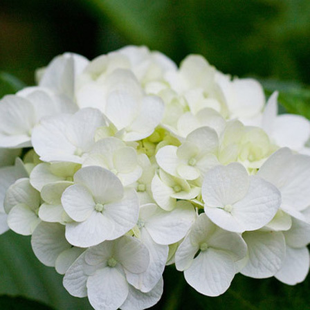 Top 25 most beautiful white flowers white hydrangea flowers pinit mightylinksfo