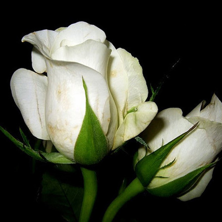 Top 25 most beautiful white flowers white lily flower pinit mightylinksfo
