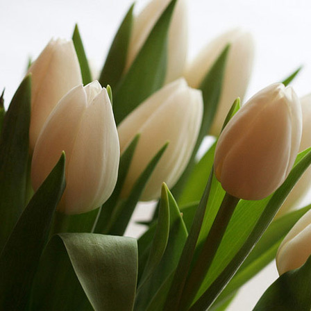 Top 25 most beautiful white flowers white tulips flowers pinit mightylinksfo