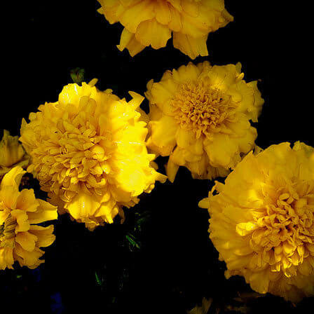 Top 25 most beautiful yellow flowers yellow carnation mightylinksfo