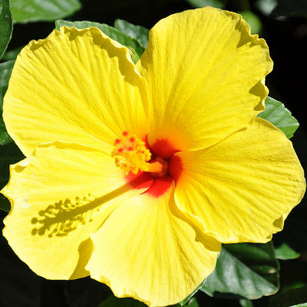 Top 25 most beautiful yellow flowers yellow hibiscus flower pinit mightylinksfo