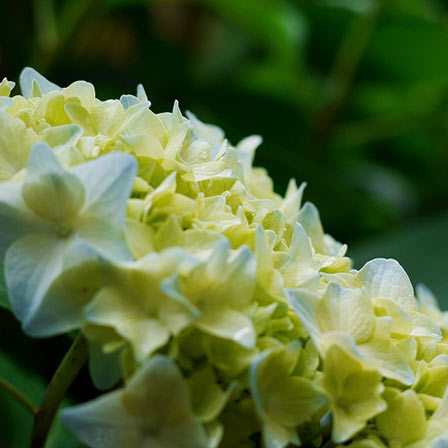 yellow hydrangea flowers
