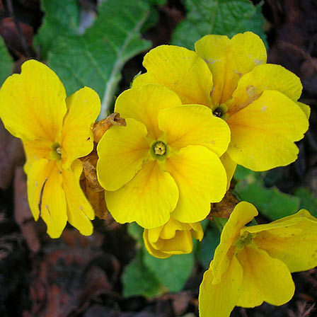 yellow primrose flower
