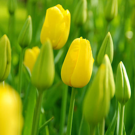 yellow tulips images