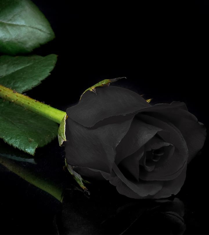 7 Most Beautiful Black Roses
