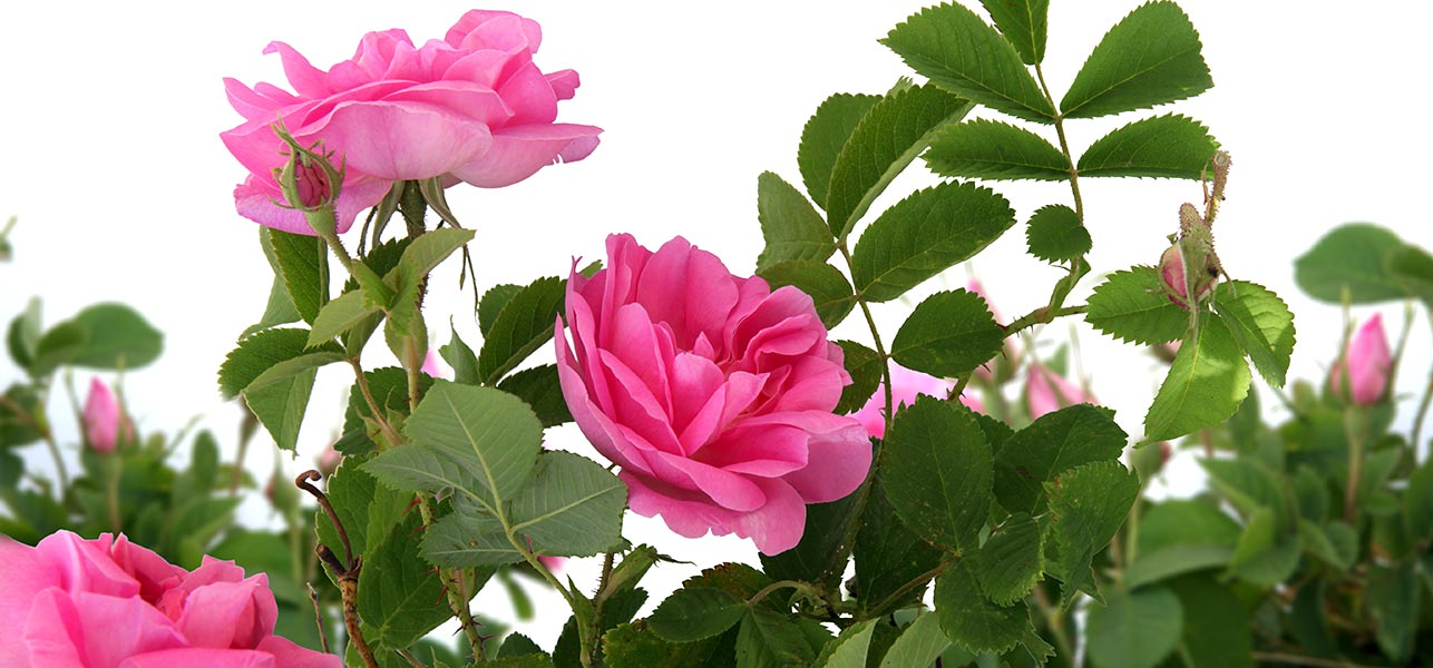 most beautiful pink roses in the world, Beautiful flower