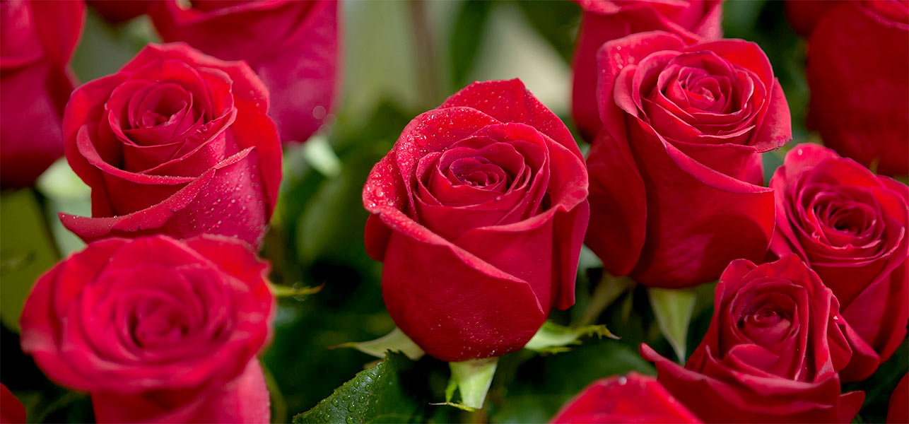 Top 25 most beautiful red roses