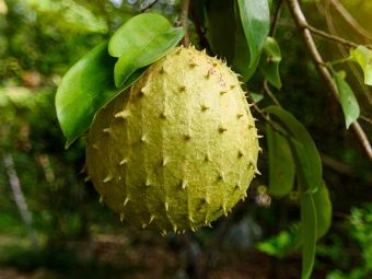 Soursop Leaves: Benefits, Nutrition, And Side Effects