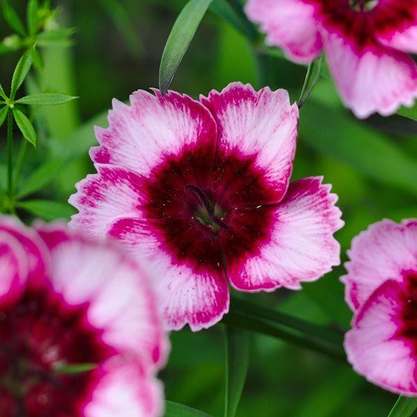7 Most Beautiful Carnation Flowers