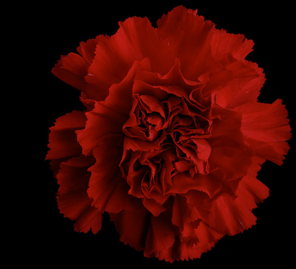 ideas for the perfect profile picture - 7 Most Beautiful Carnation Flowers