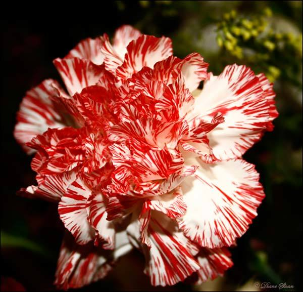 Striped Carnation