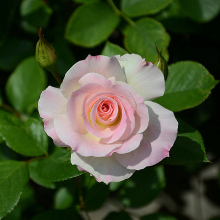 american beauty rose flower