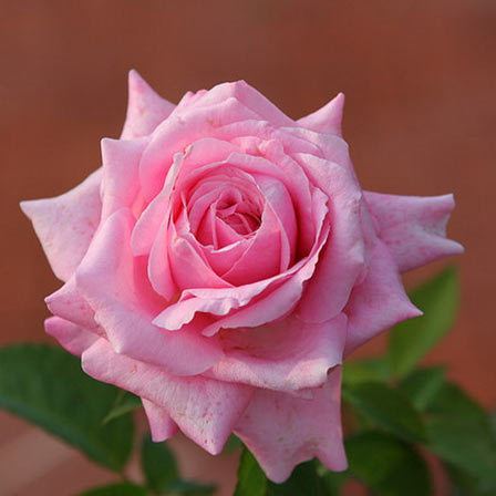 25 most beautiful pink roses in the world pink roses pinit mightylinksfo