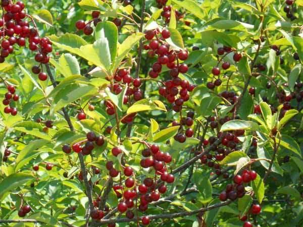 Benefits Of Black Cherry