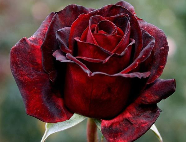 7 Most Beautiful Black Roses In The World