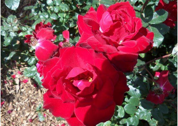 black cherry rose