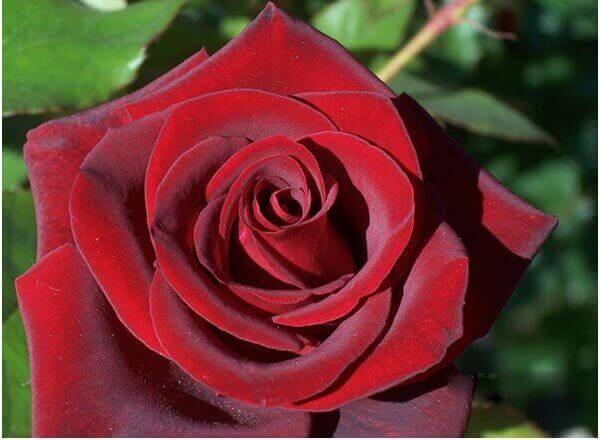 black magic rose flower