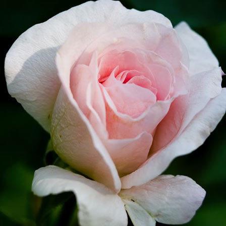 Blush Rose Pink Roses